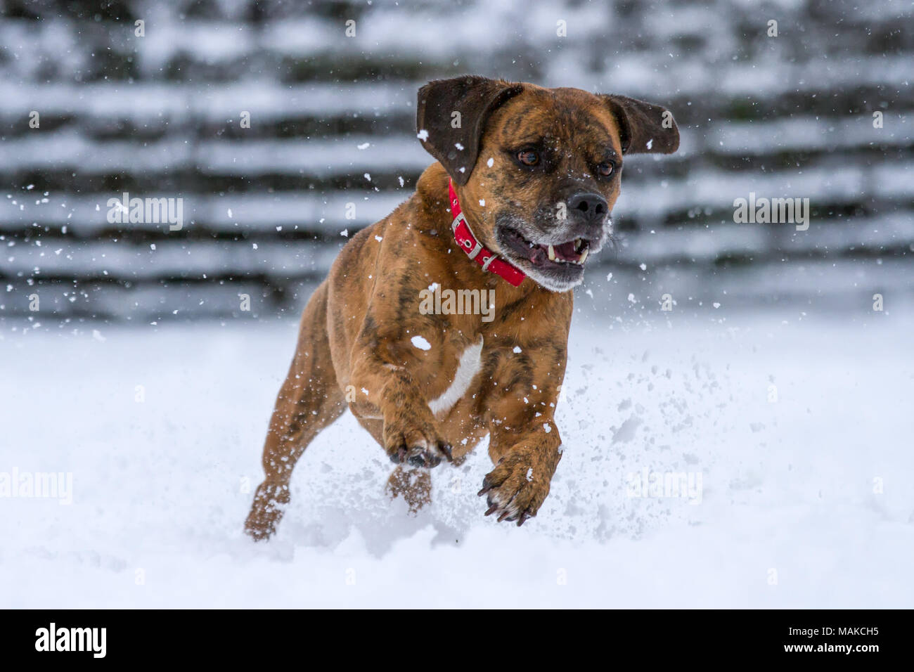 Happy Dog Running and Playing In Snow, United Kingdom - Stock Image
