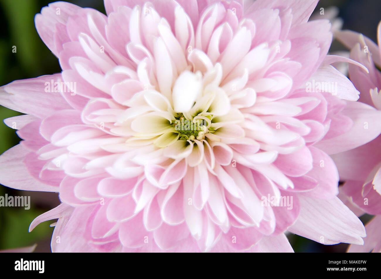 A top down view of a light pink dahlia flower stock photo 178678749 a top down view of a light pink dahlia flower izmirmasajfo