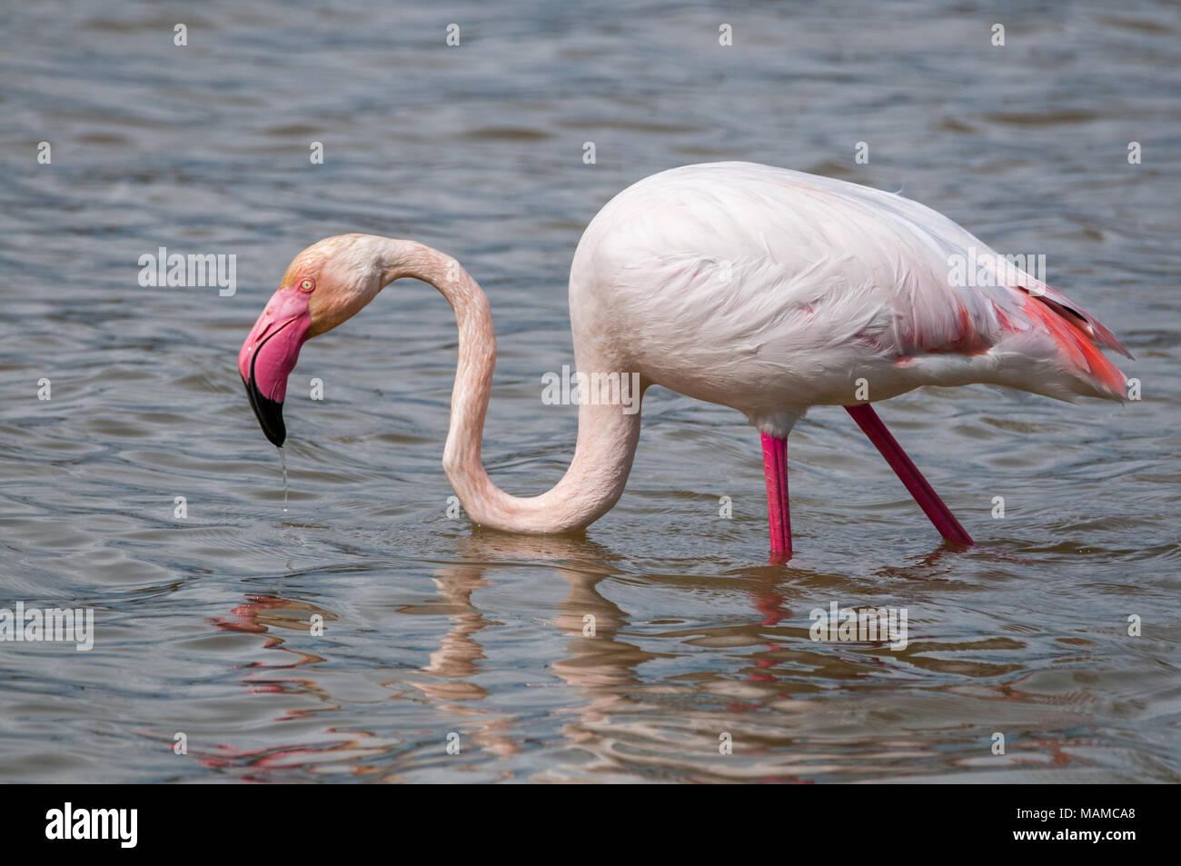 greater flamingo, Phoenicopterus roseus, Aiguamolls Emporda, Catalonia, Spain - Stock Image