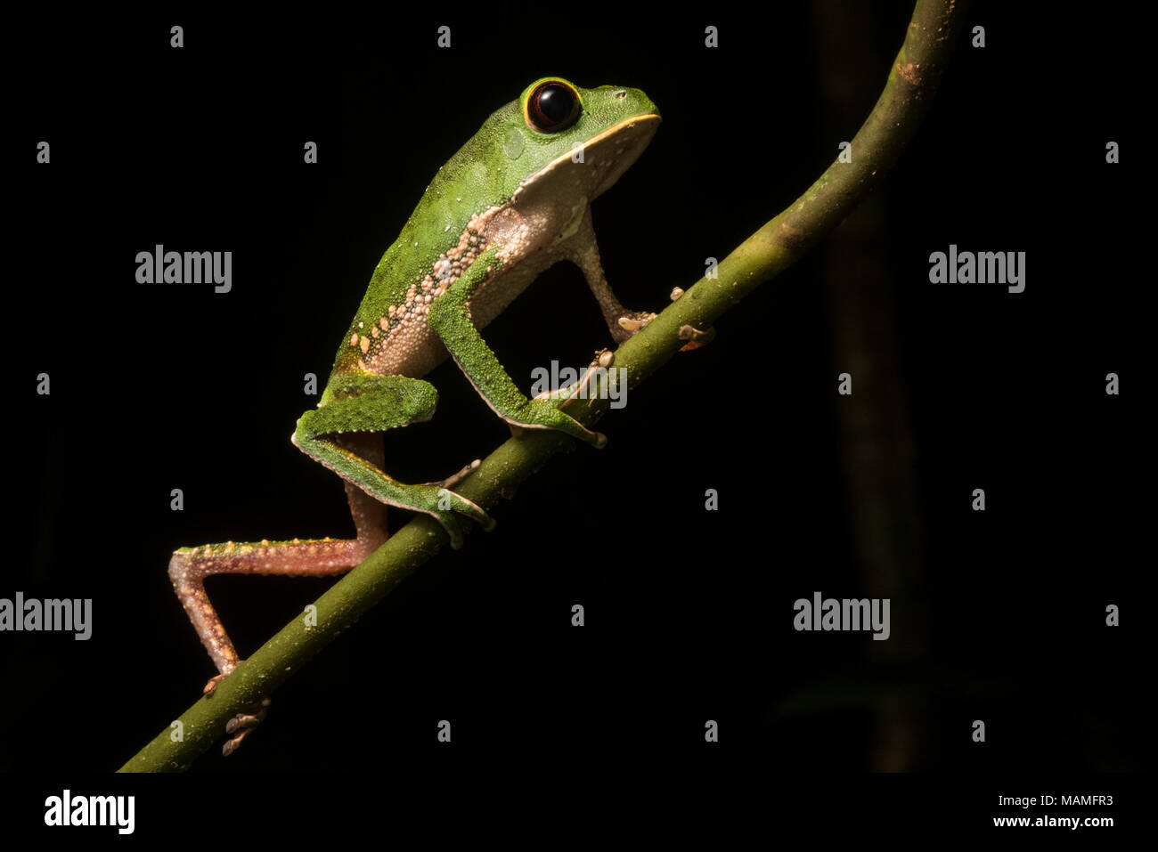 Phyllomedusa camba or potentially P. chaparroi a closely related cryptic species. These frogs walk like monkeys which is how they get their name. - Stock Image