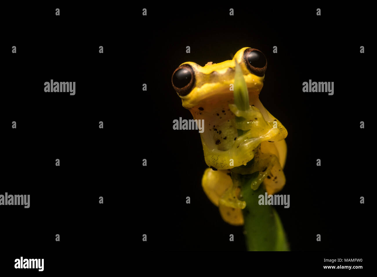 A clown tree frog (Dendropsophus) from the Peruvian jungle.  These very cute little frogs can be found around standing water in the rainforest. - Stock Image