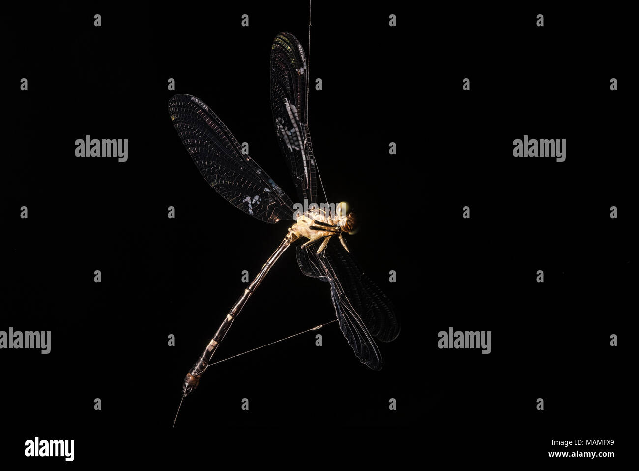 A dragonfly that is hopelessly caught in a spiders web. - Stock Image
