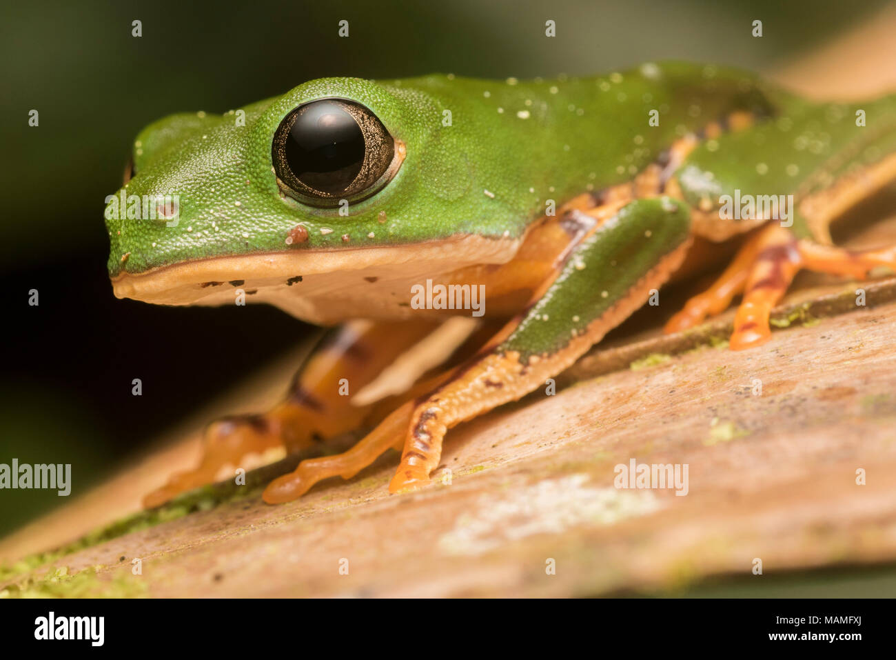 A tiger leg tree frog from near Tarapoto, Peru.  This species lives in the trees and can be found in Amazonian South America. - Stock Image
