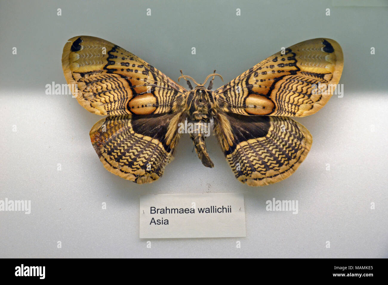 Brahmaea wallichii, or owl moth at the Natural History Museum at Tring, UK. - Stock Image