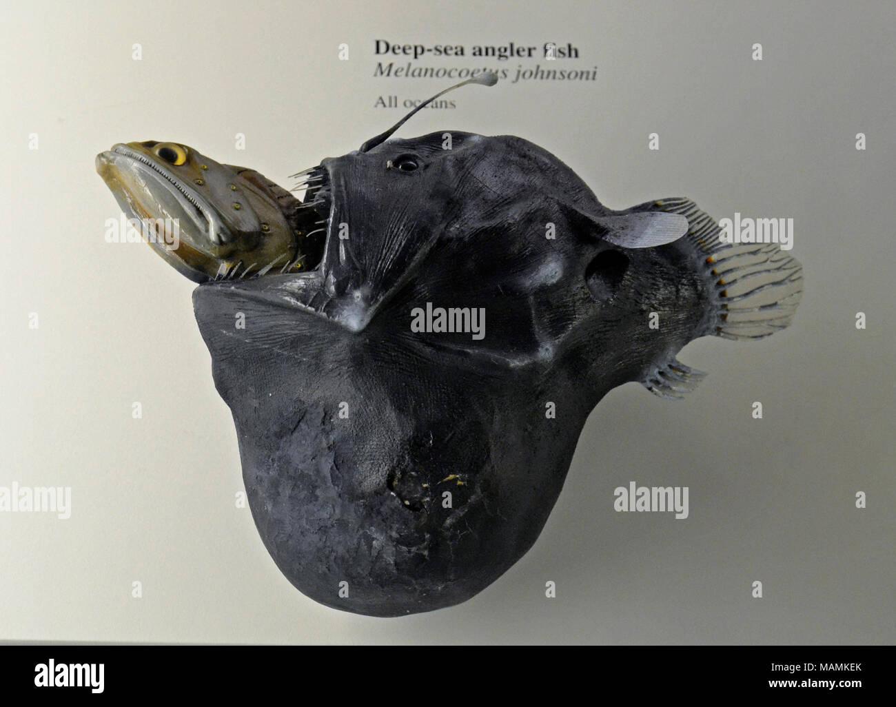 Deep sea angler fish swallowing another fish at the Natural History Museum at Tring, UK. - Stock Image