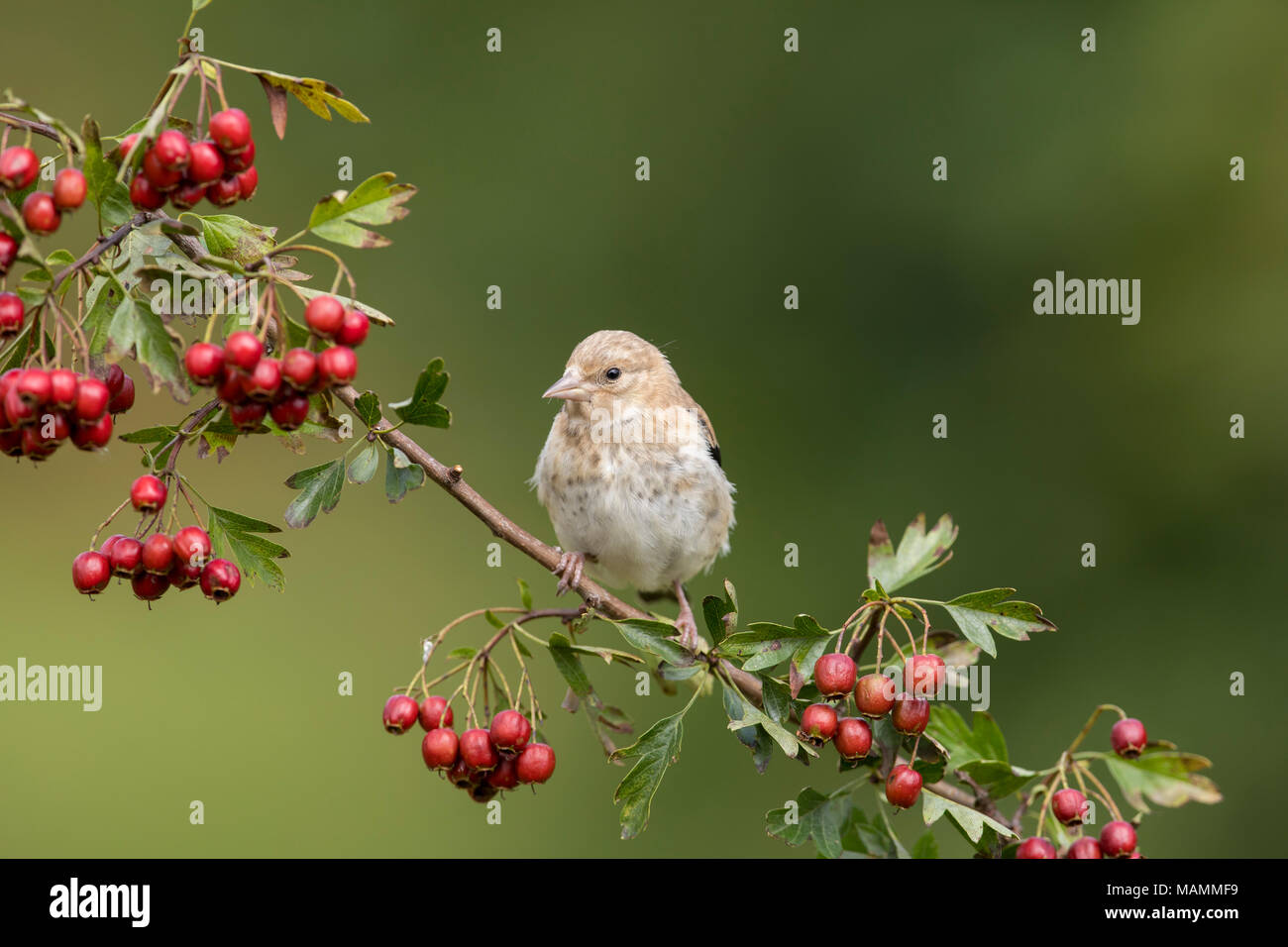 Goldfinch; Carduelis carduelis Single Young on Hawthorn Tree Cornwall; UK - Stock Image