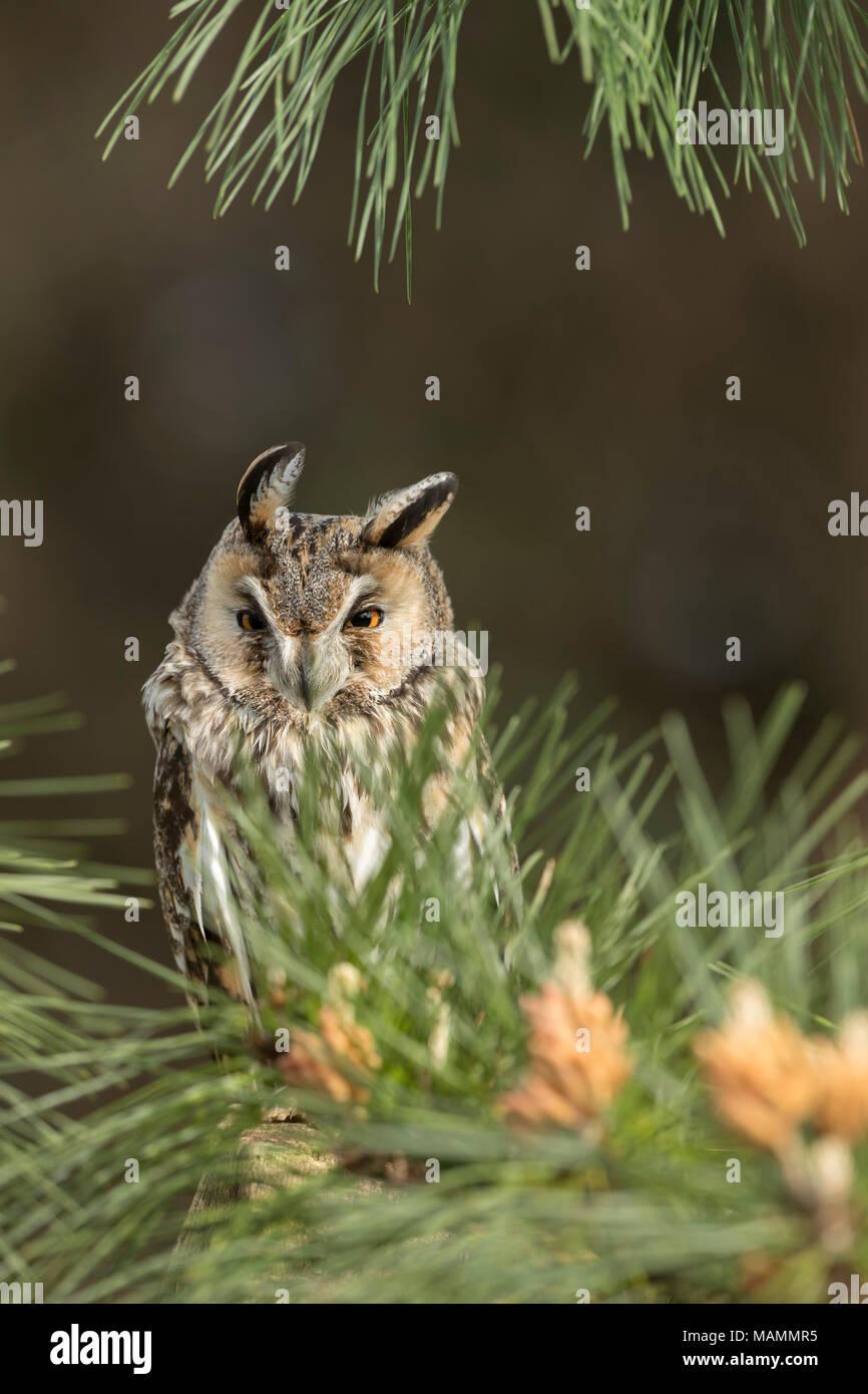 Long Eared Owl; Asio otus Single in Pine Cornwall; UK - Stock Image