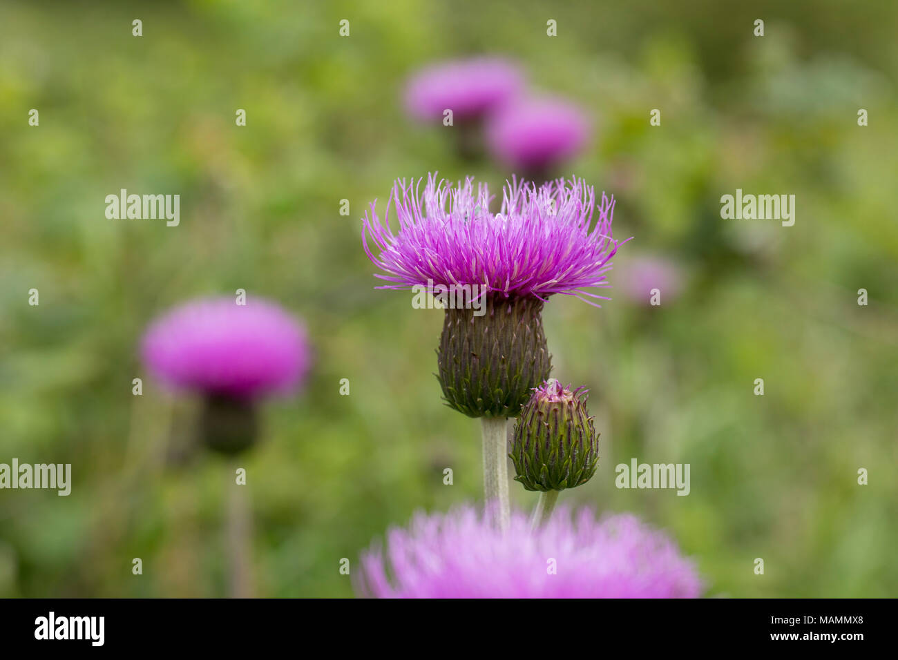 Melancholy Thistle; Cirsium heterophyllum Flowering Yorkshire; UK - Stock Image