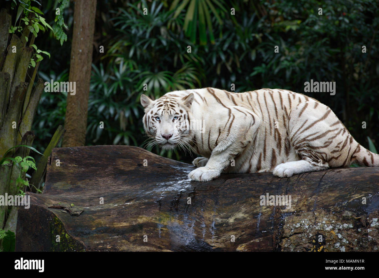 Tiger in a jungle. White Bengal tiger on tree trunk with forest on background - Stock Image