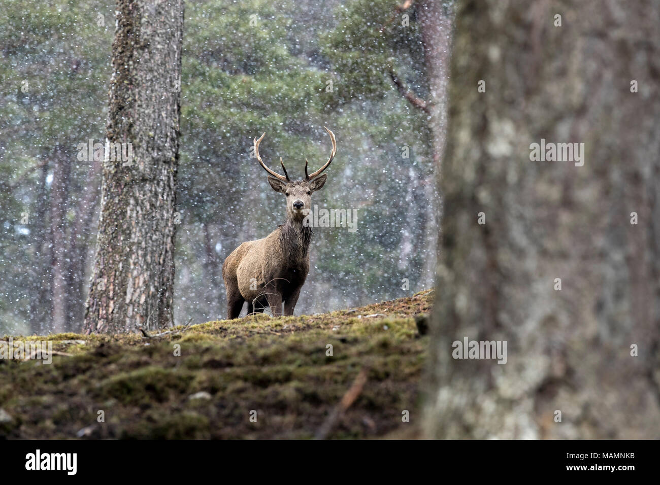Red Deer; Cervus elaphus Single; Stag in Snow Scotland; UK - Stock Image