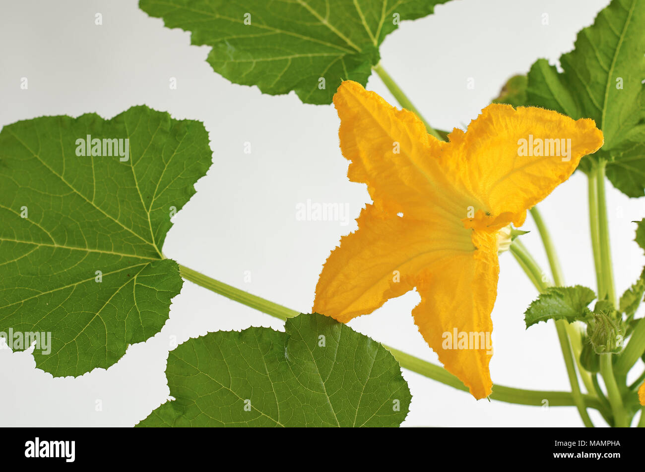 Zucchiniblüte - Stock Image