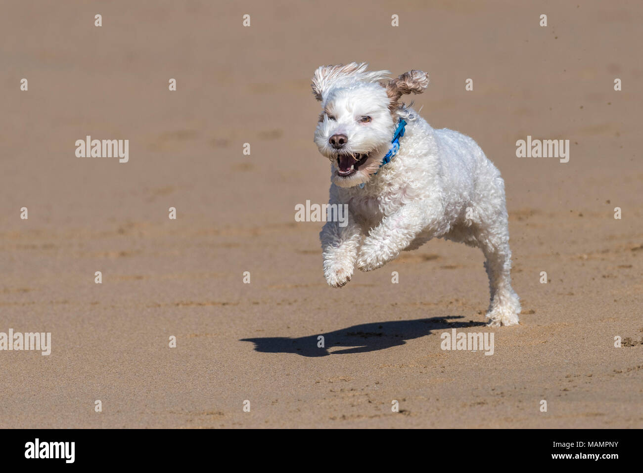 A Cockapoo running across a beach. - Stock Image