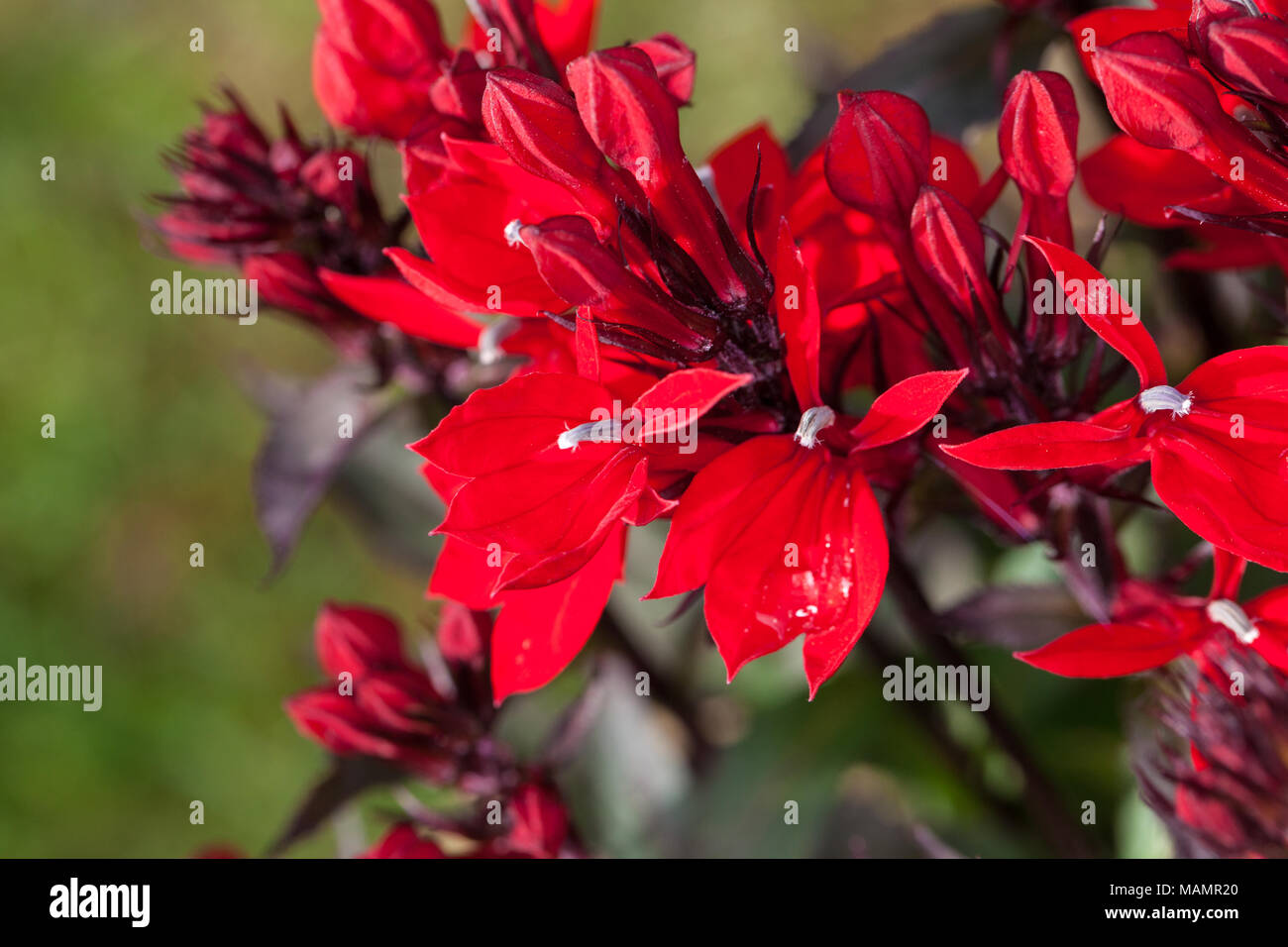 Lobelia Speciosa Stock Photos Lobelia Speciosa Stock Images Alamy
