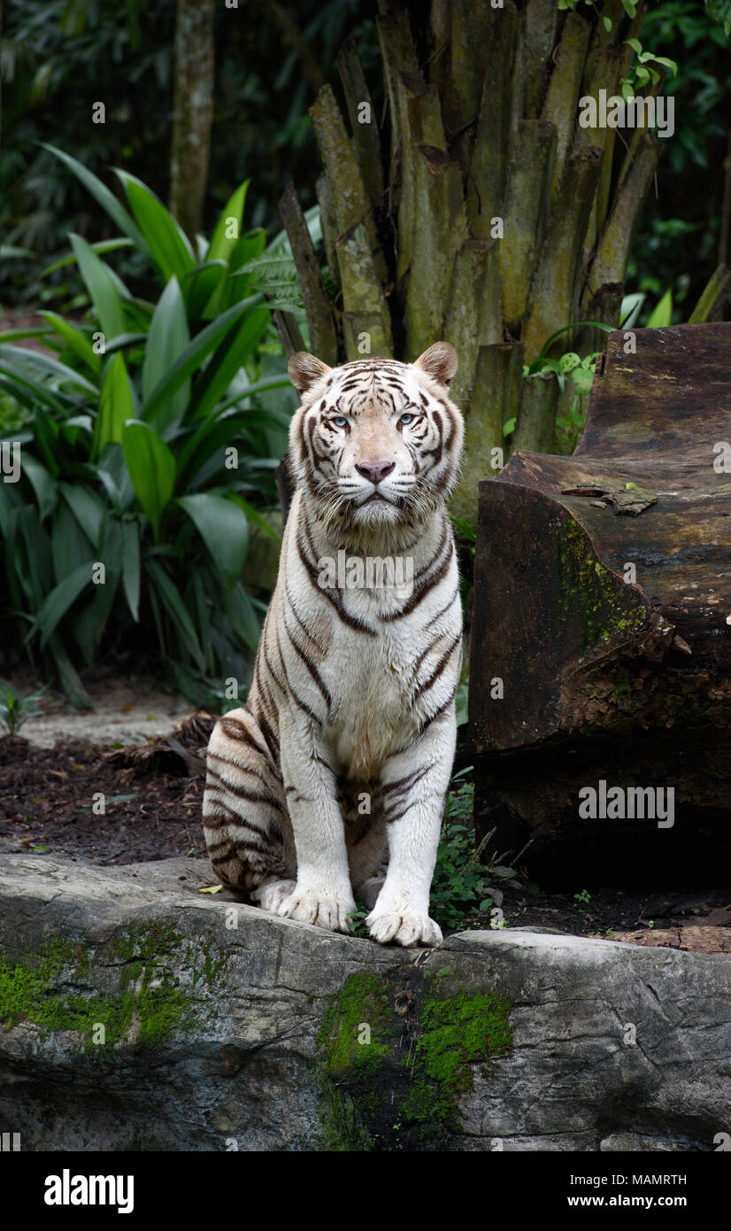 Tiger in a jungle. White Bengal tiger sits on a rock with natural background - Stock Image