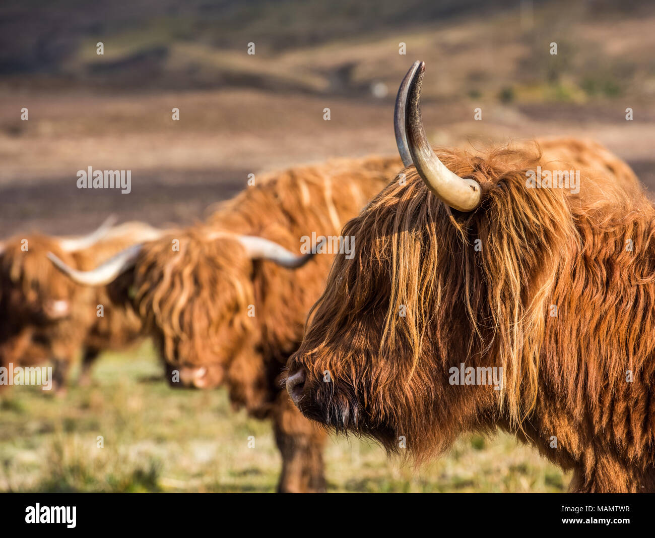 Highland cattle grazing in fields and enjoying the spring sunshine in the Scottish Highlands - Stock Image