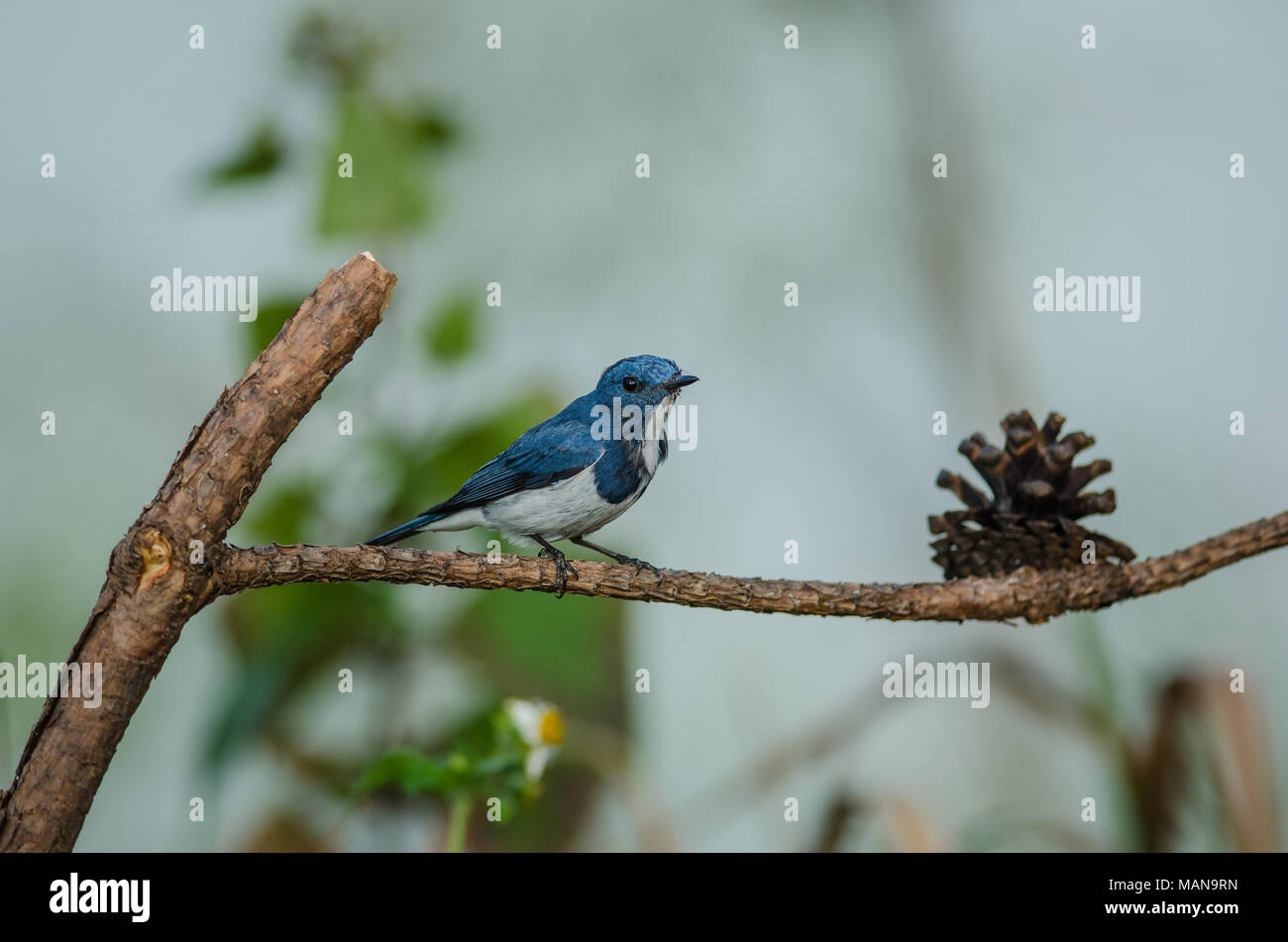 Ultramarine Flycatcher perched on branch in nature Thailand (Ficedula superciliaris) - Stock Image