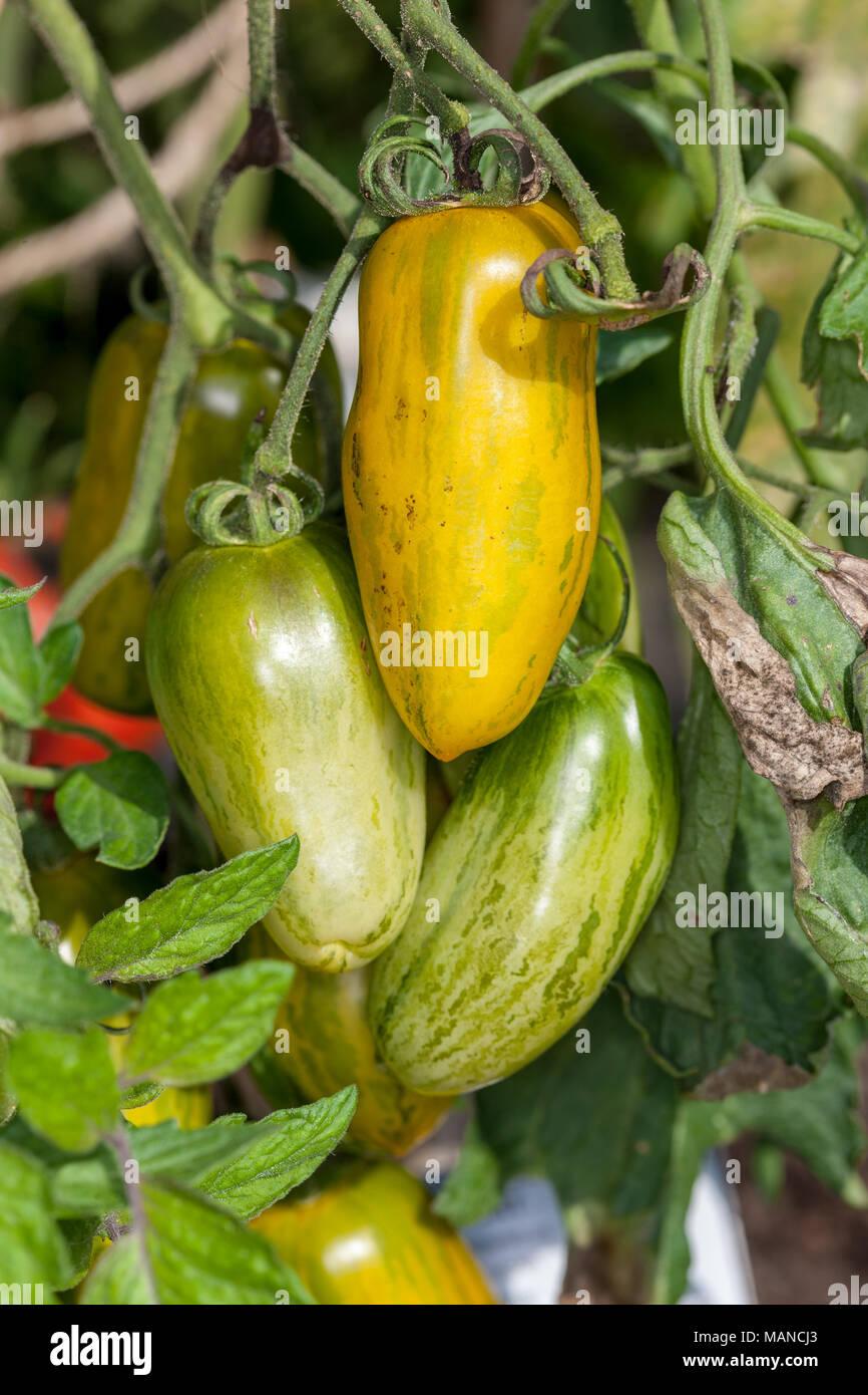 'Green Sausage' Tomato, Tomat (Solanum lycopersicum) - Stock Image
