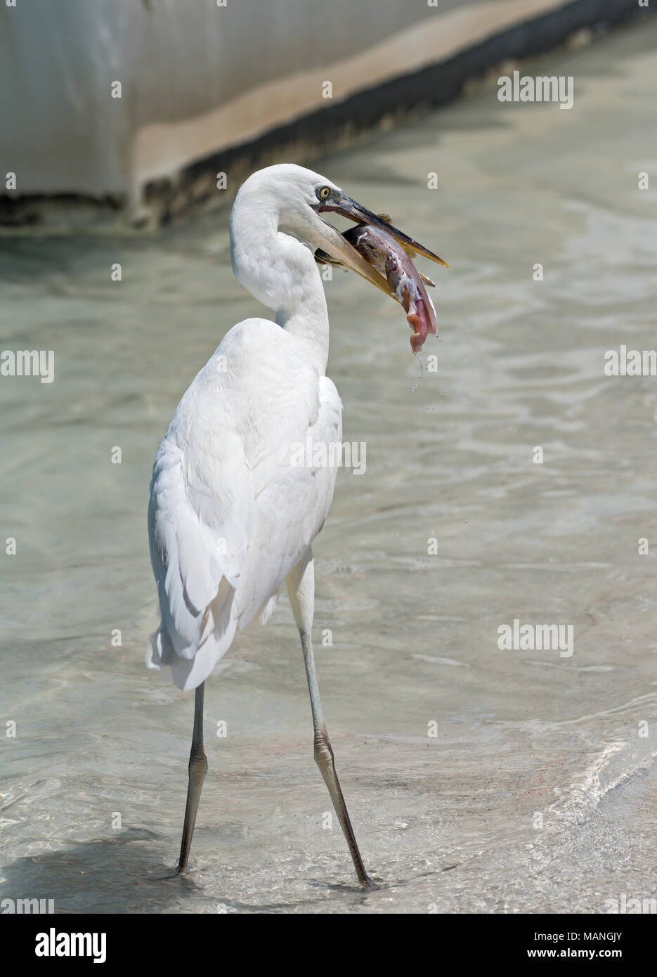 Great Egret (Ardea alba) eating a fish south of Holbox, Mexico - Stock Image