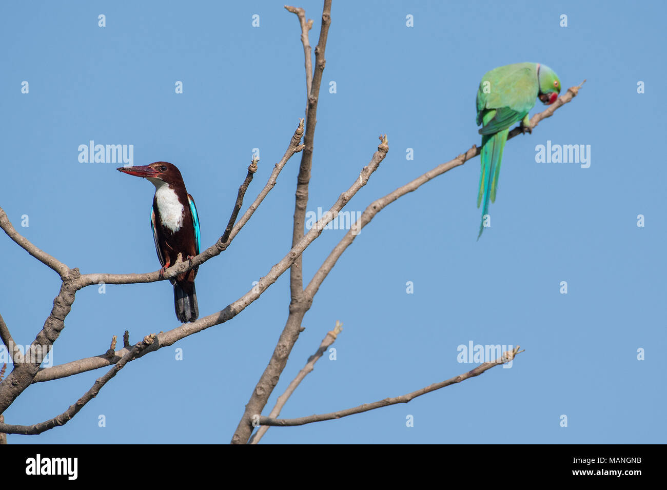 Bird: White Throated Kingfisher and Rose Ringed Parakeet  Perched on Tree Stock Photo