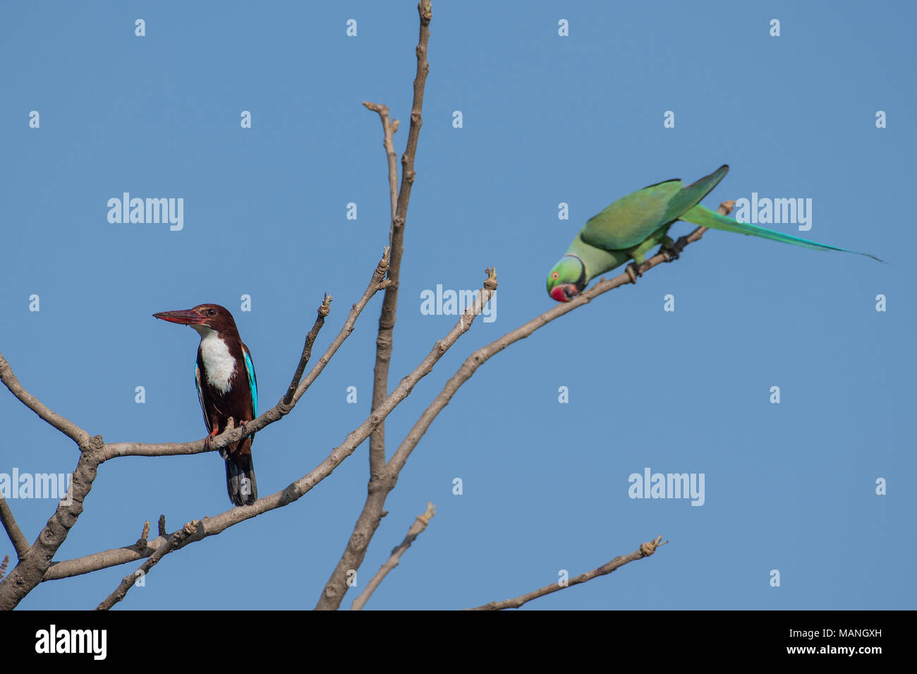 Bird: White Throated Kingfisher and Rose Ringed Parakeet  Perched on Tree - Stock Image