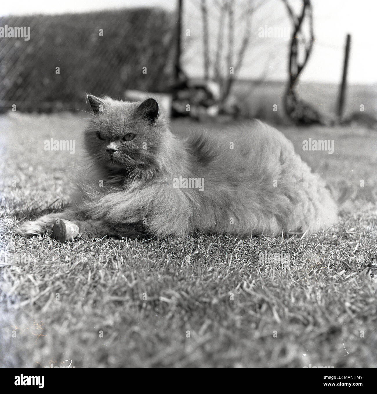 1950s, historical, an attractive domestic cat with a nice furry coat lying on grass outside, England, UK. Stock Photo