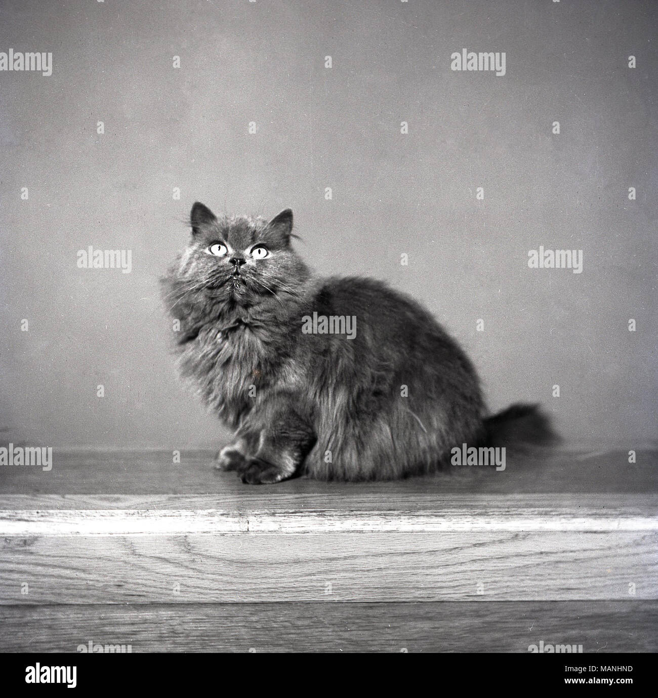 1950s, historical, portrait of a furry domestic cat. - Stock Image