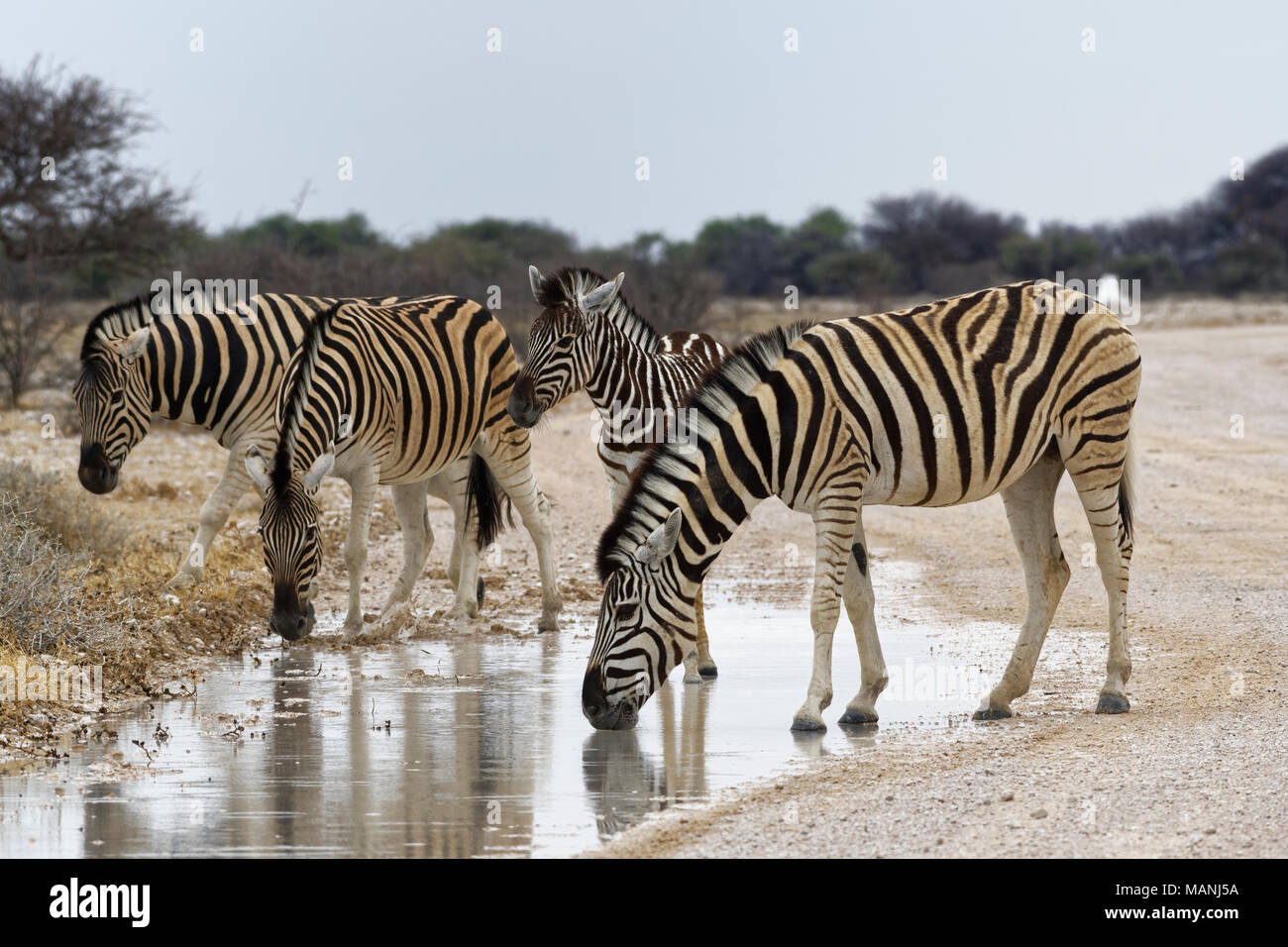 Burchell's zebras (Equus quagga burchellii), adults and foal on a dirt road, drinking rainwater from a puddle, Etosha National Park, Namibia, Africa - Stock Image