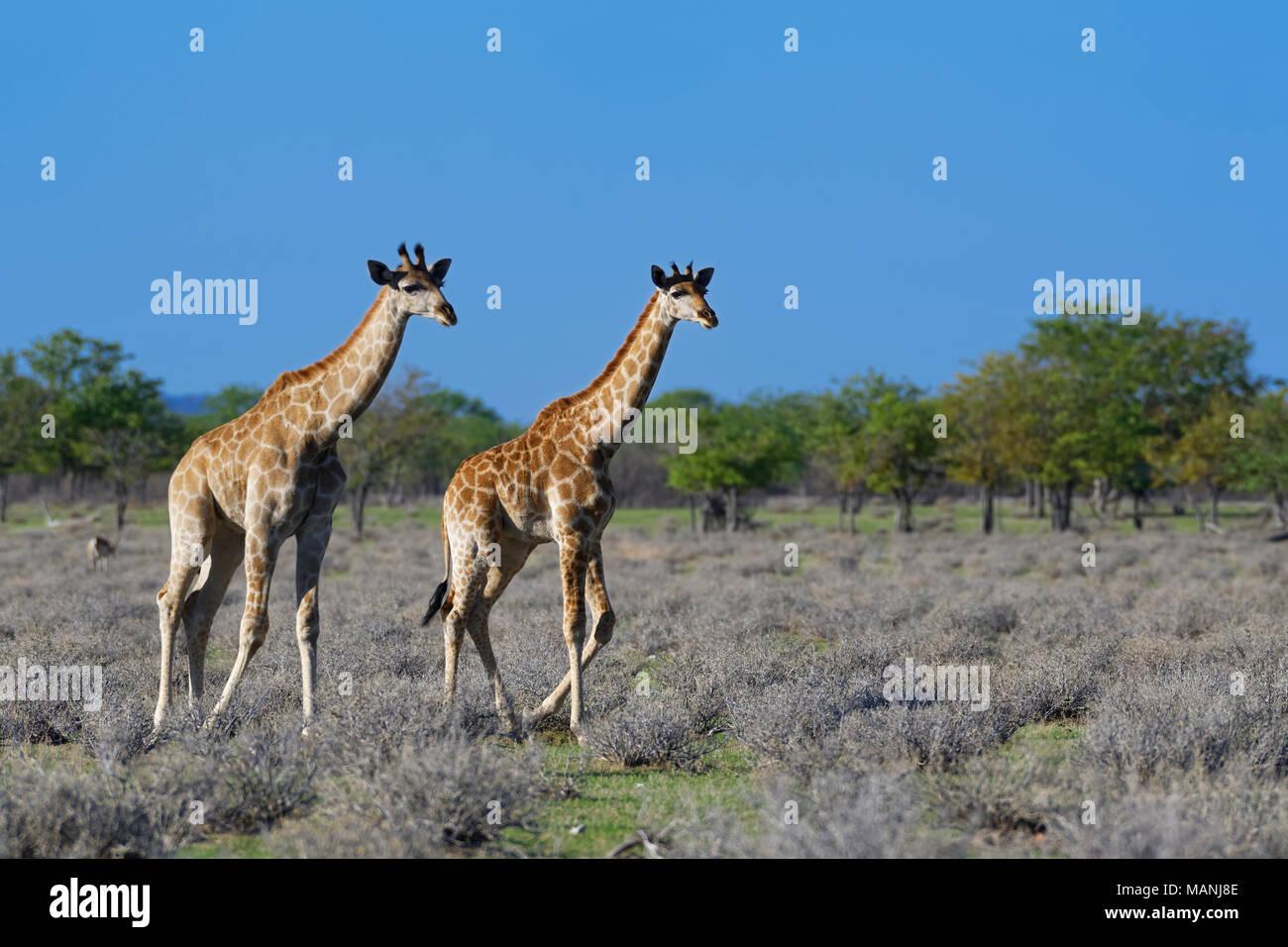Namibian giraffes or Angolan giraffes (Giraffa camelopardalis angolensis), two young walking, Etosha National Park, Namibia, Africa - Stock Image