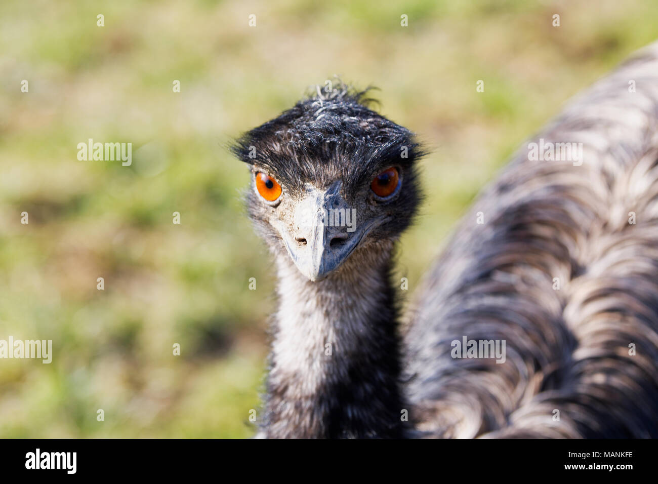 Portrait of beautiful emu (Dromaius novaehollandiae) Stock Photo