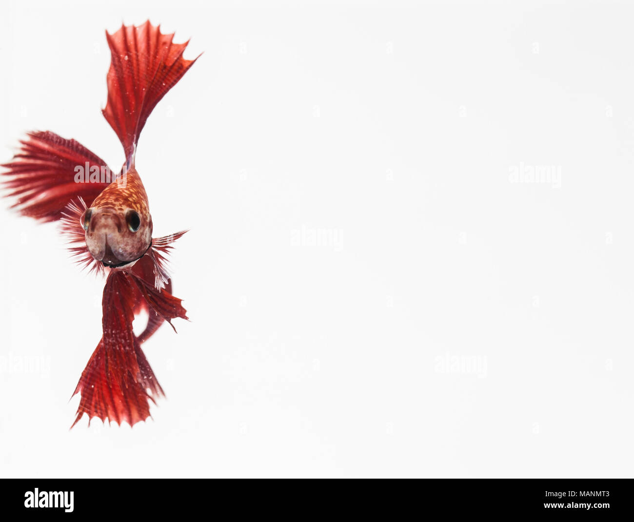 Beautiful moving moment of white siamese fighting fish, - Stock Image