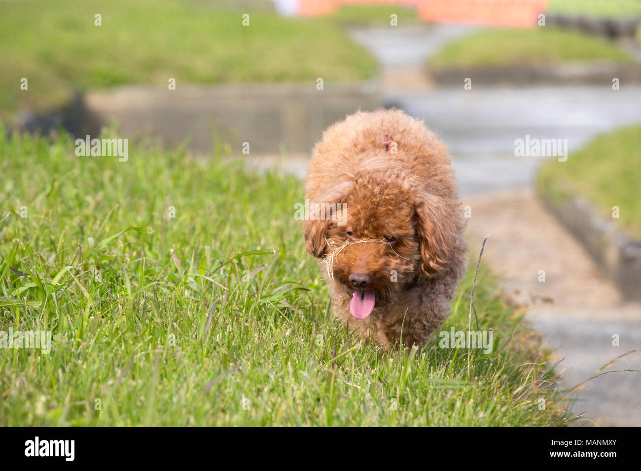 Chocolate poodle in a park walking through grass hunched down as if sneaking up on someone Stock Photo