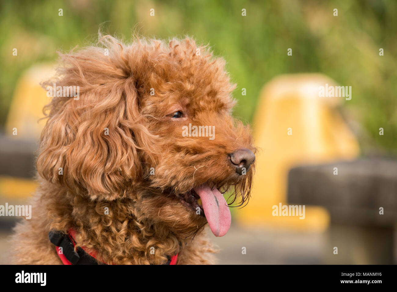 Portrait of chocolate-poodle with tongue hanging out, background out of focus - Stock Image