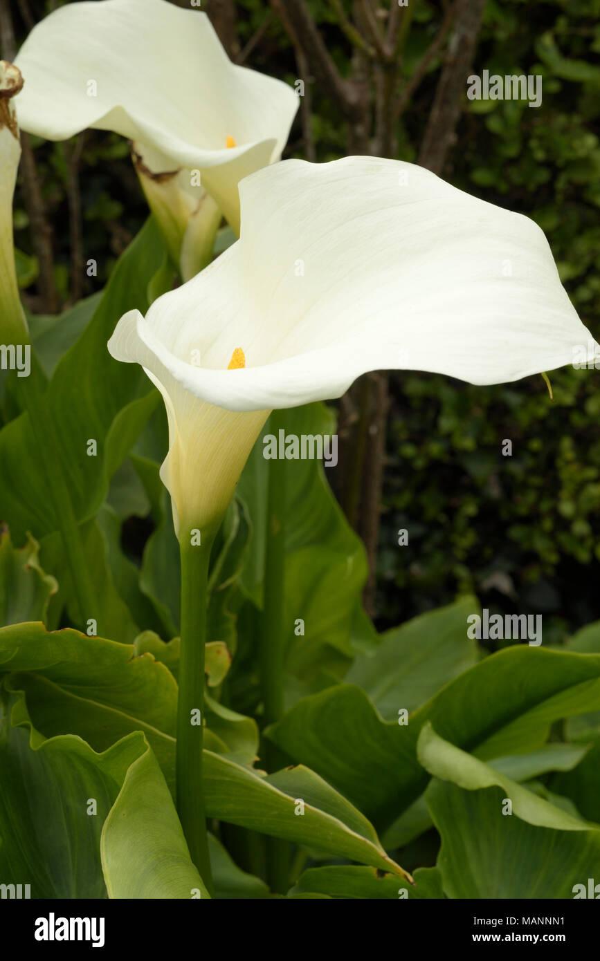 Altar-lily, Zantedeschia aethiopica - Stock Image