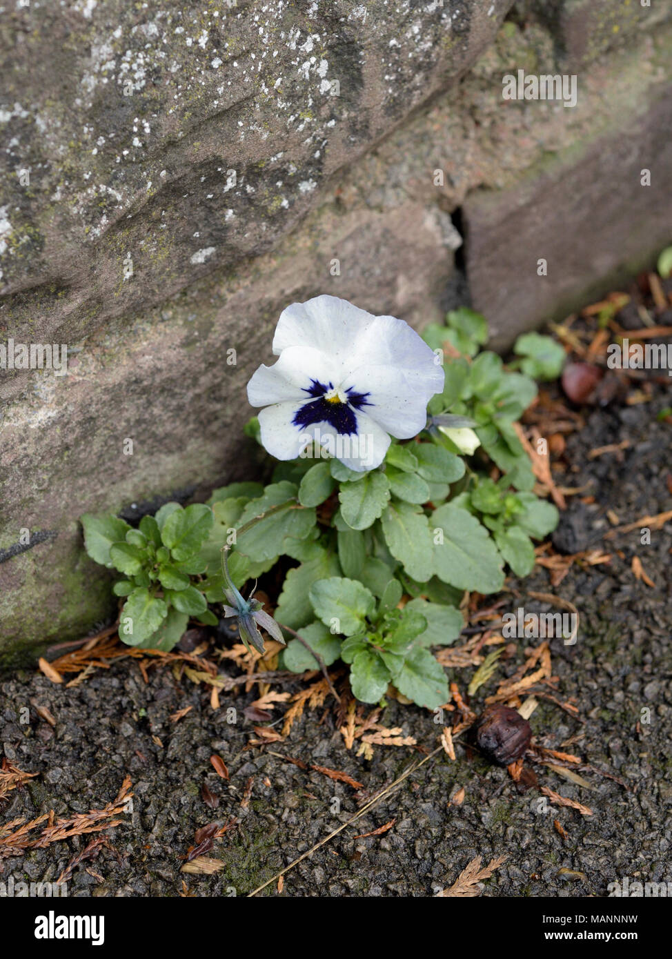 Garden Pansy, Viola x wittrockiana growing by a wall - Stock Image