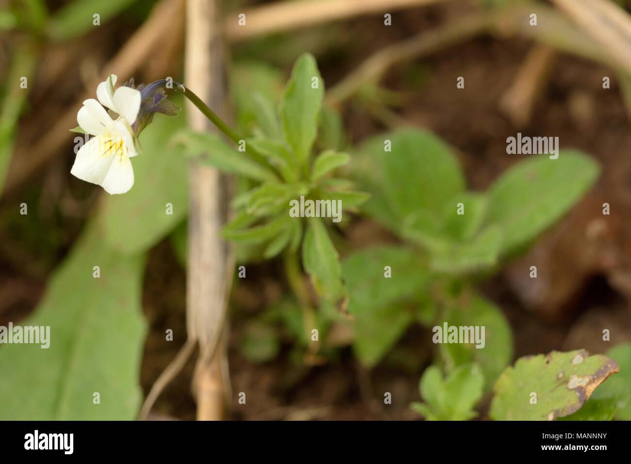 Field Pansy, Viola arvensis - Stock Image