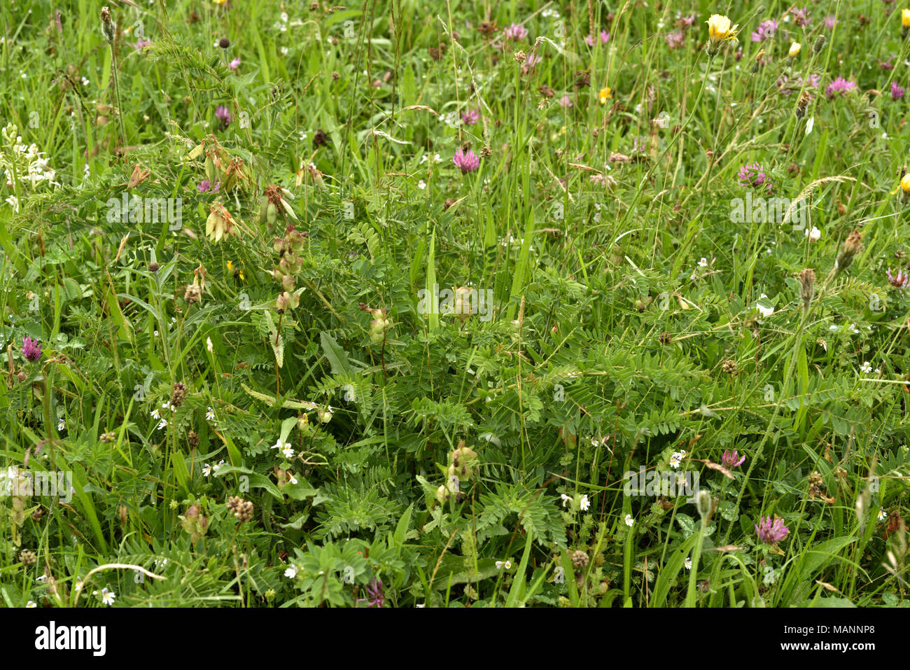 Wood Bitter-vetch, Vicia orobus fruiting in a Meadow - Stock Image