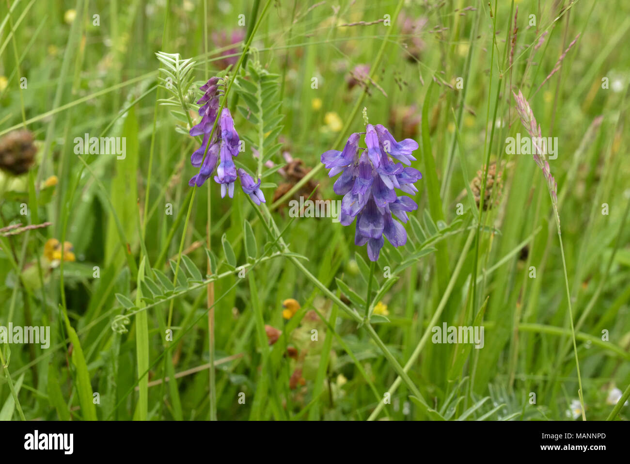 Tufted Vetch, Vicia cracca growing in a meadow - Stock Image