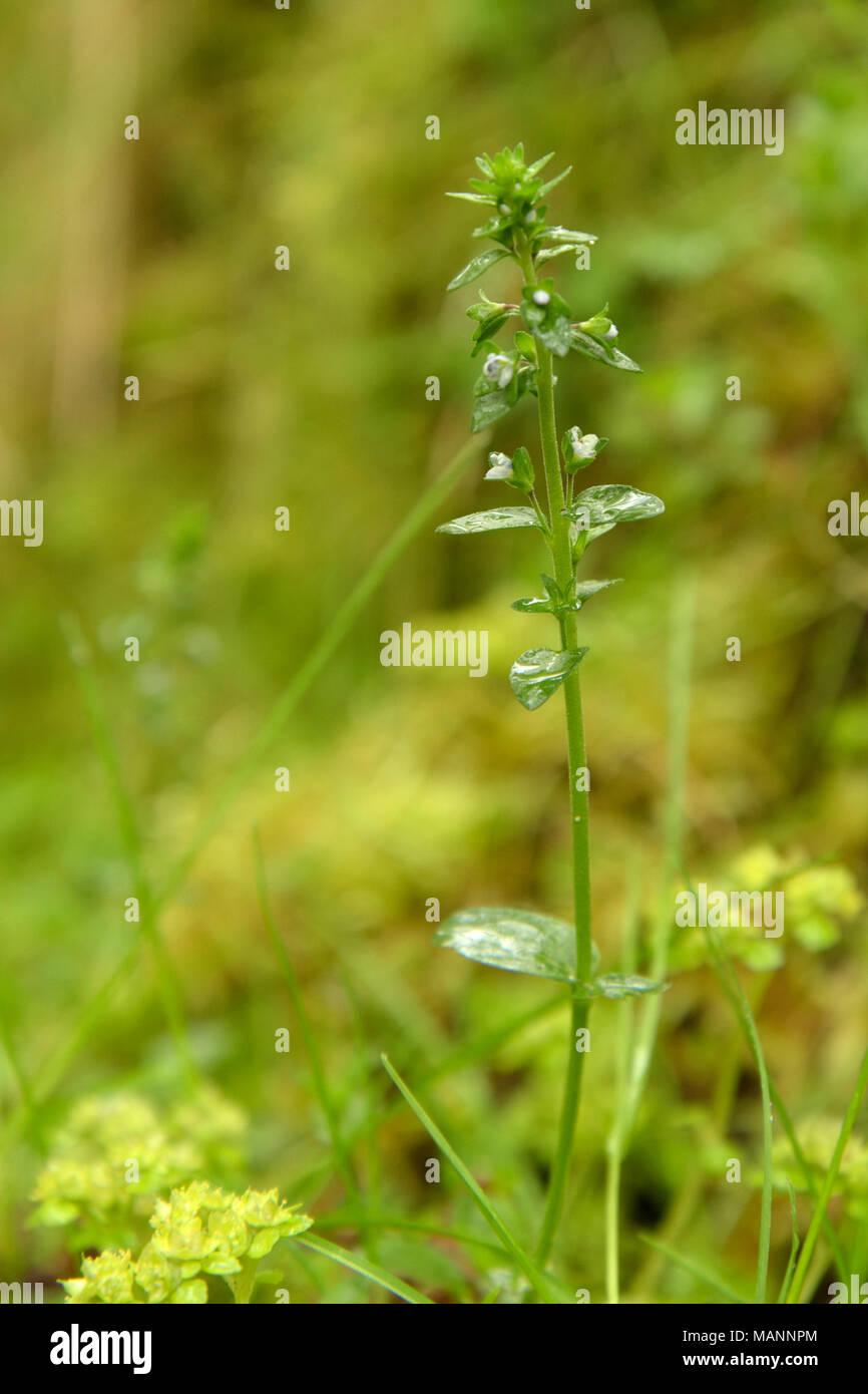 Thyme-leaved Speedwell, Veronica serpyllifolia - Stock Image
