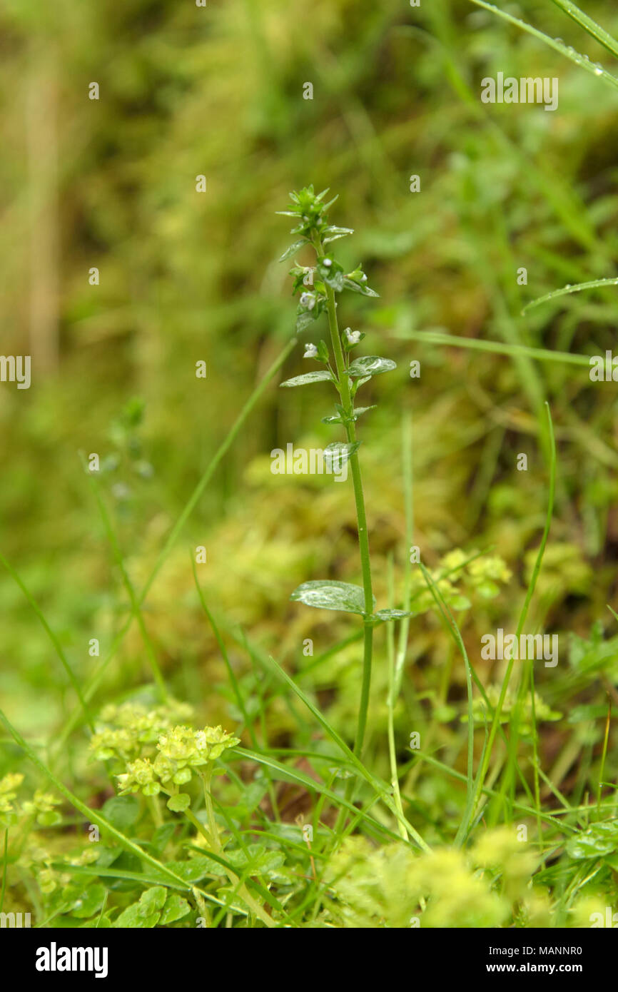 Thyme-leaved Speedwell, Veronica serpyllifolia in wet woodland with Opposite-leaved Golden-saxifrage - Stock Image
