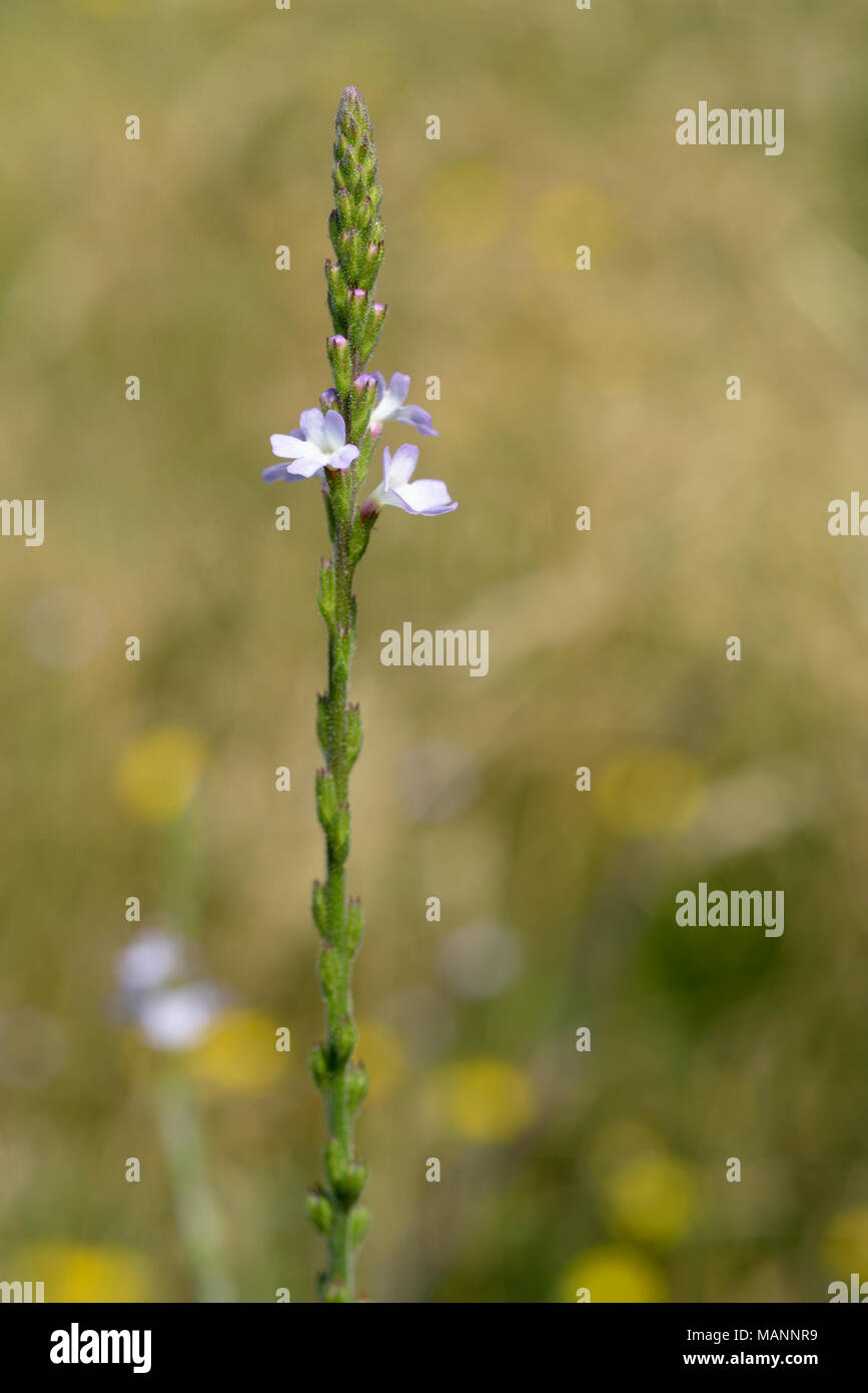 Vervain, Verbena officinalis - Stock Image