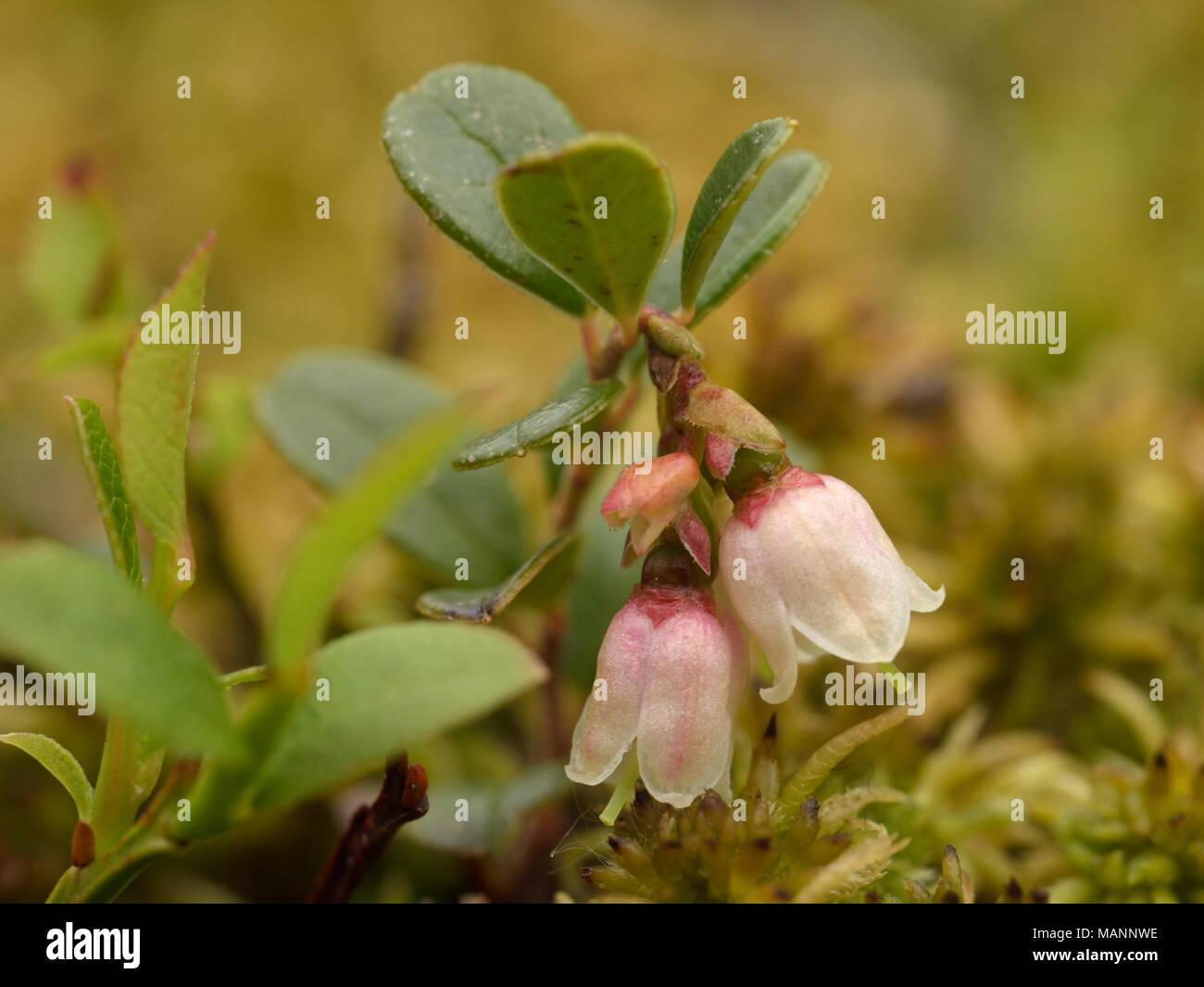 Cowberry, Vaccinium vitis-idaea - Stock Image
