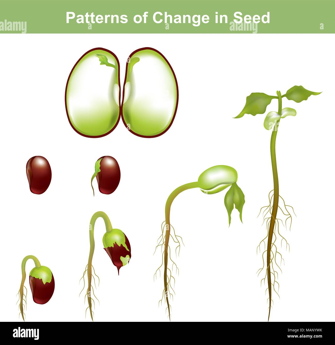 Germination is the process by which a plant grows from a seed. The most common example of germination is the sprouting of a seedling from a seed of an - Stock Vector