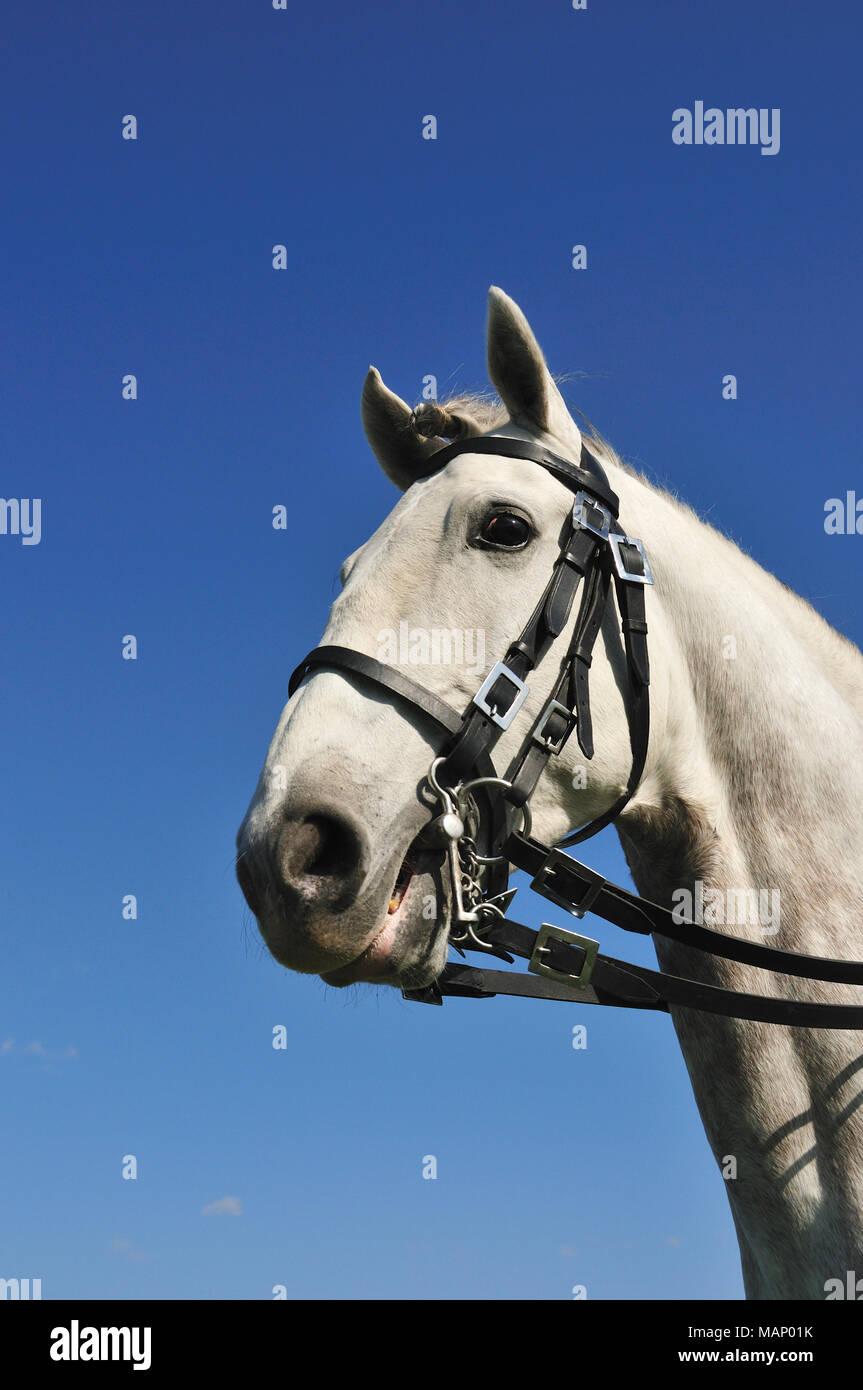 Lusitano portuguese horse. A pure breed of Portugal - Stock Image