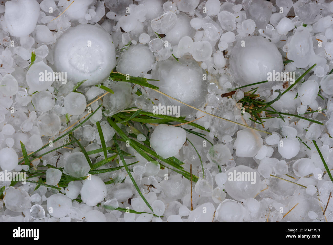 Close up of large freshly fallen hail stones in grass from massive hailstorm in Castle Rock Colorado US. The storm occurred July 1, 2016 - Stock Image
