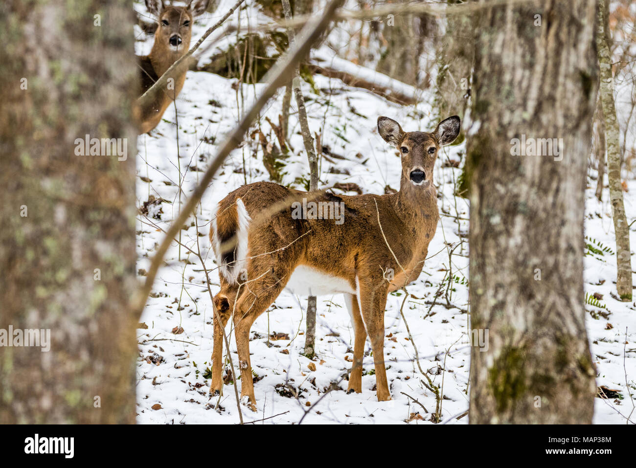 A whitetail deer pauses in the forest. - Stock Image