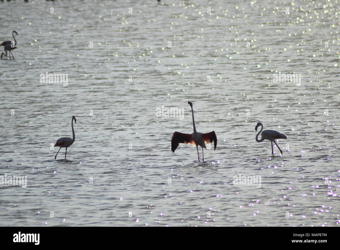 Flamingos in Italy basking in the water - Stock Image