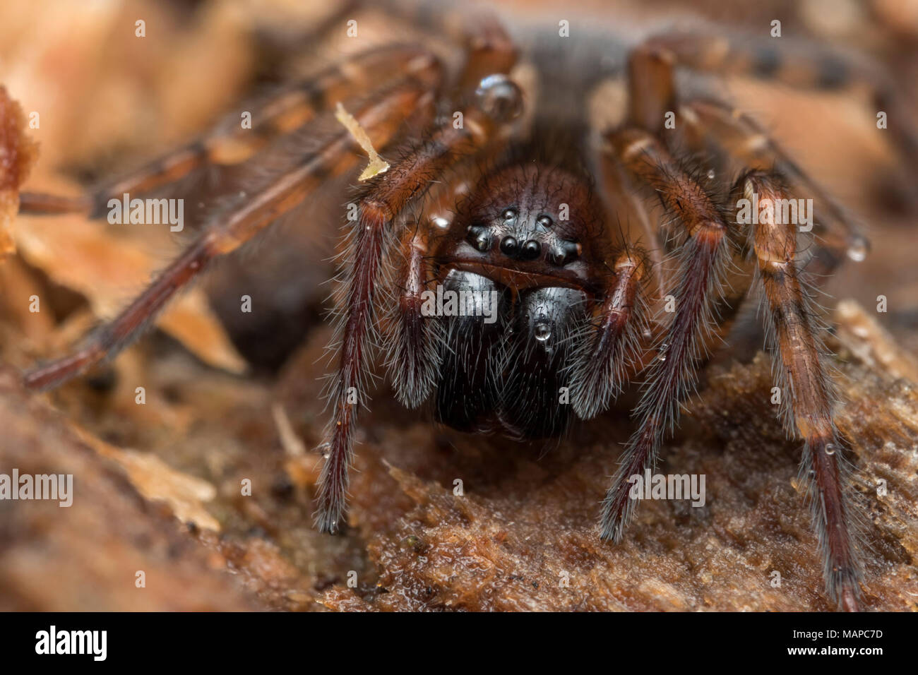 Lace-weaver Spider (Amaurobius sp.) at rest on rotten tree trunk. Tipperary, Ireland - Stock Image