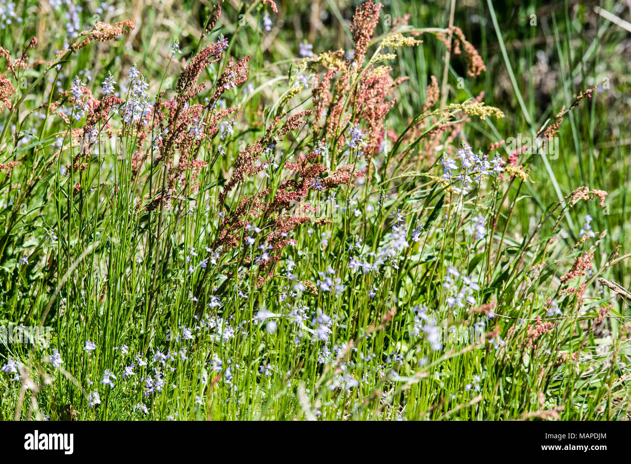 Red and Blue Flowers in Green Grass - Stock Image