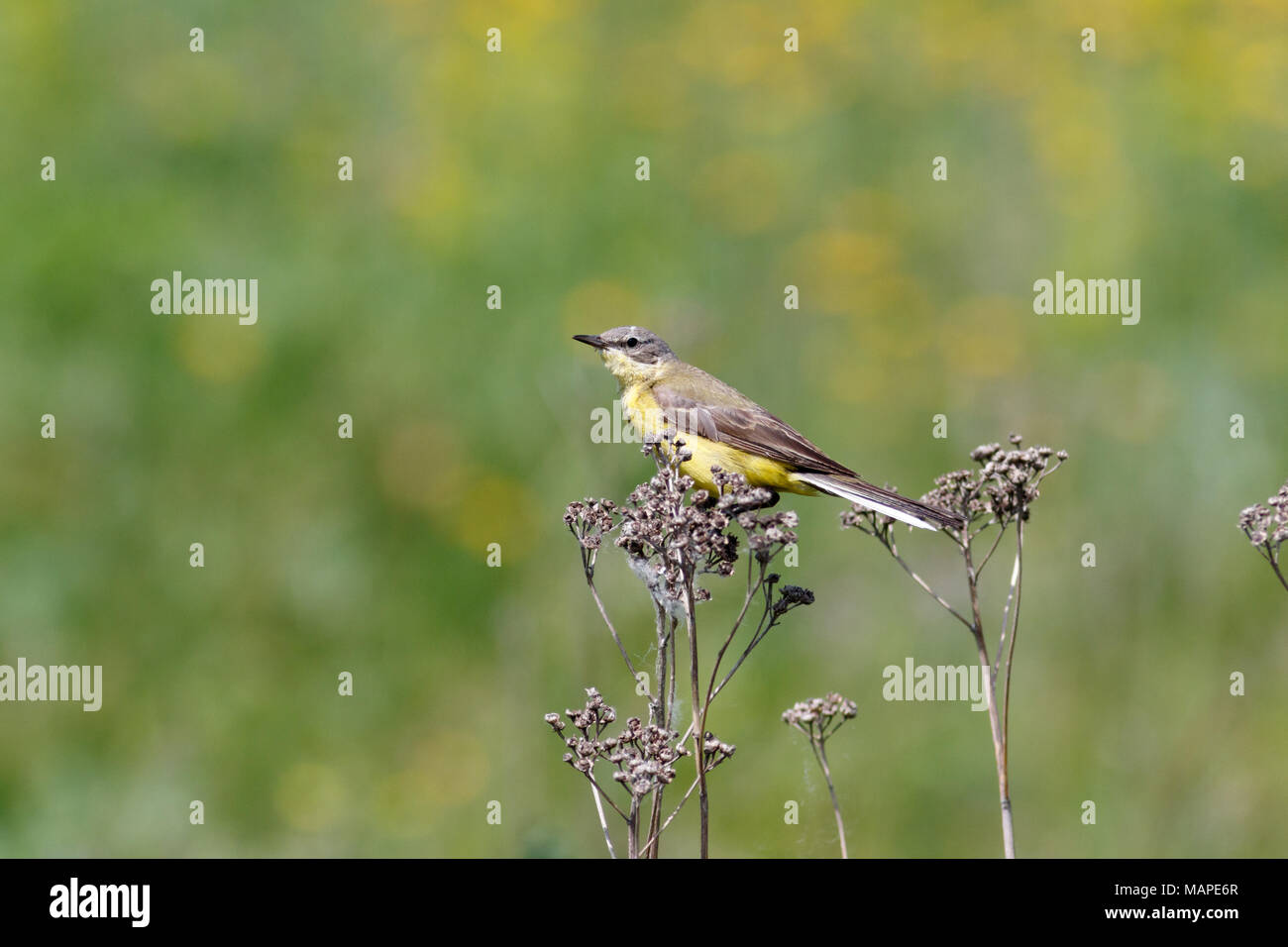 Yellow Wagtail (Motacilla flava) in the nature - Stock Image