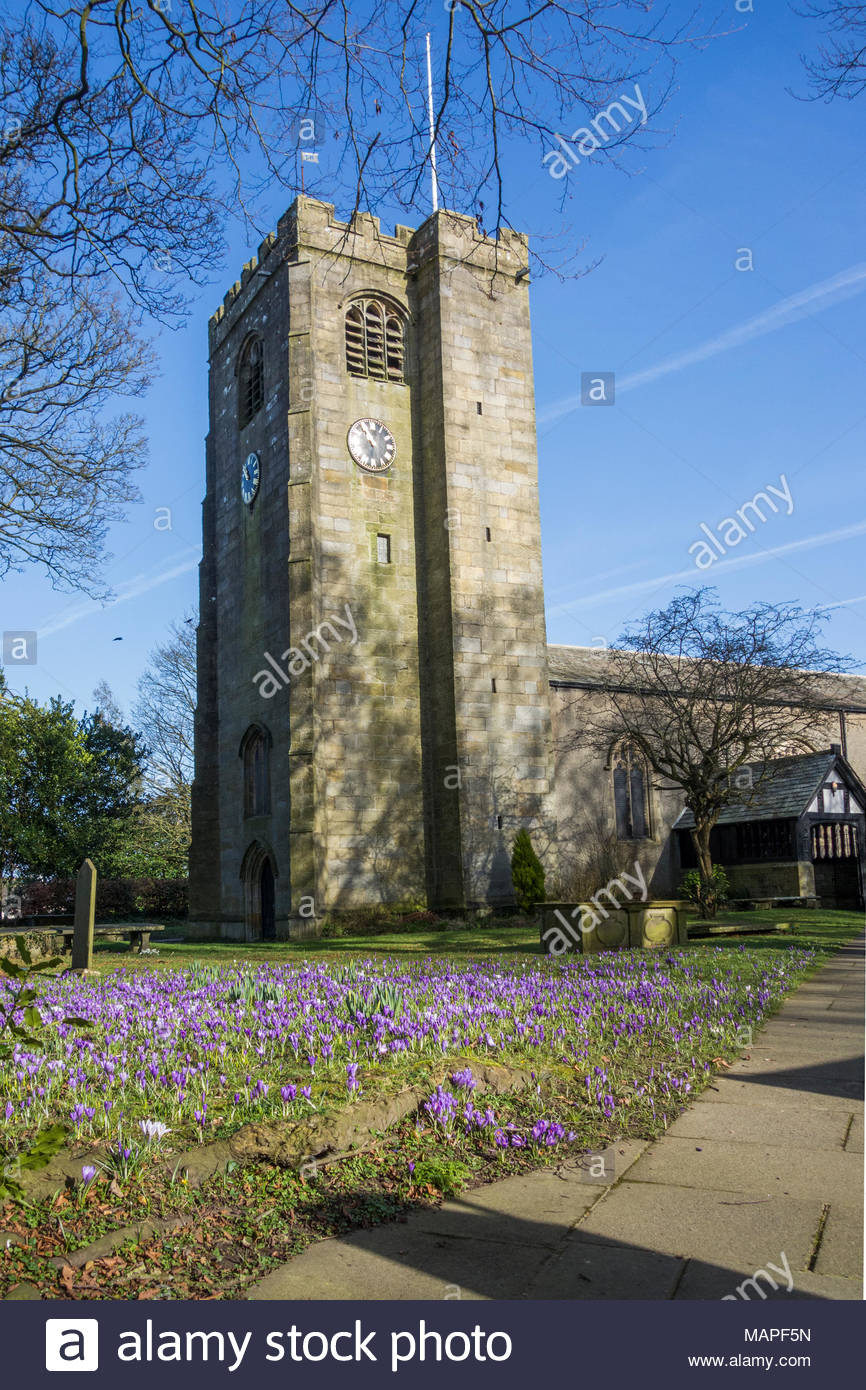 Crocuses in the the grounds of the Holy Trinity Church in Bolton le Sands, Lancashire - Stock Image